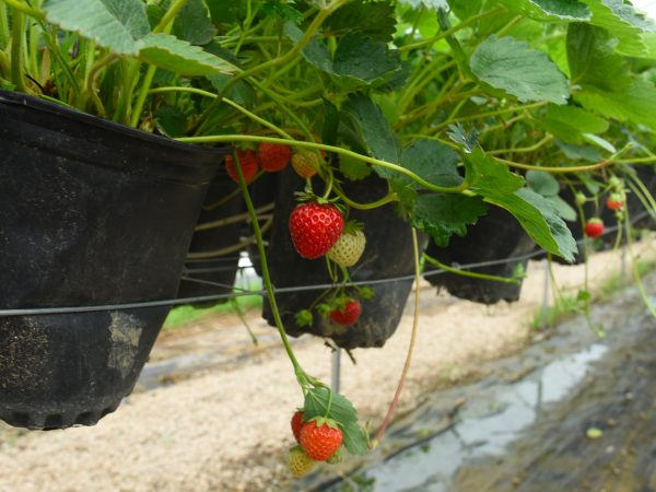 strawberry growing system