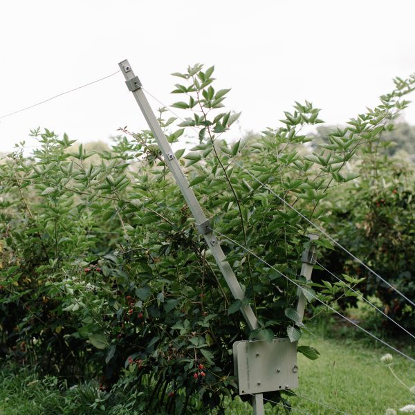 blackberry growing system