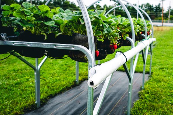 buy grow your own strawberry system