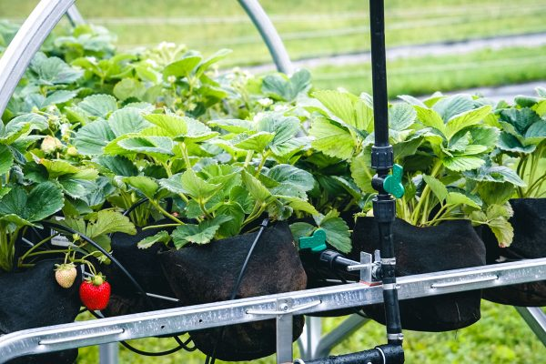 buy strawberry growing system