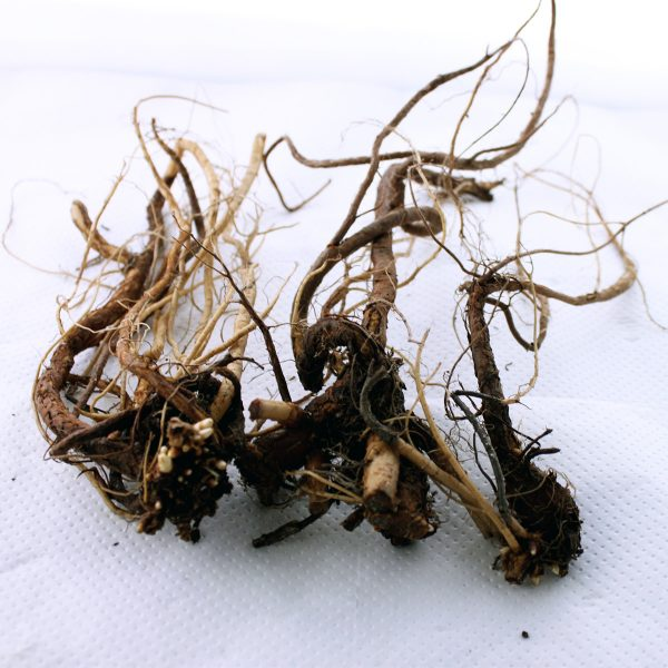 large rhizome roots for sale